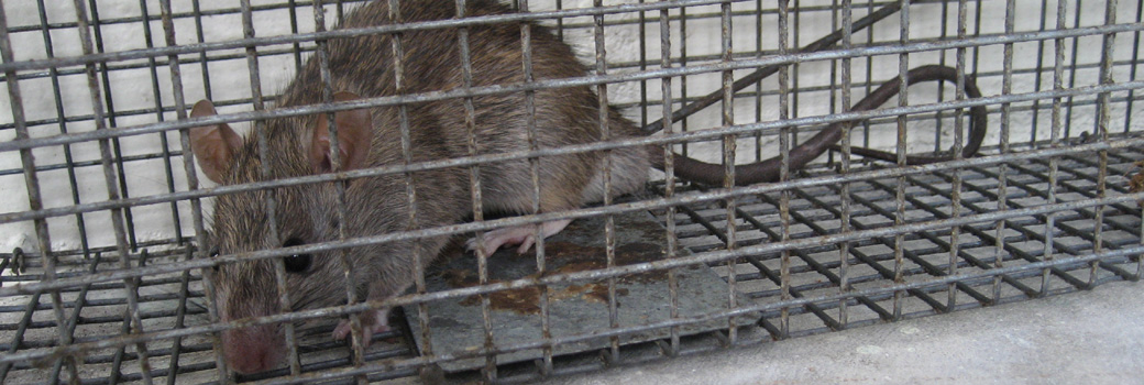 Charleston Wildlife Removal and Prevention - Raccoon, Rodent